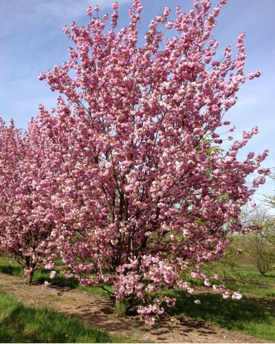 Cerezo Sakura Rosado 1,5m !!