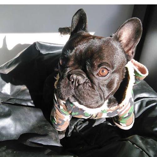 Servicio Bulldog Francés Atigrado