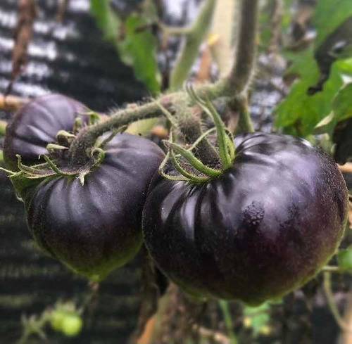 Semillas Tomates Orgánicos 6 Variedades + Regalo
