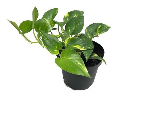 Planta Miami, Epipremnum Aureum, Planta Interior Colgante