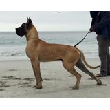 Venta Cachorros Gran Danes,los Mejores De Chile
