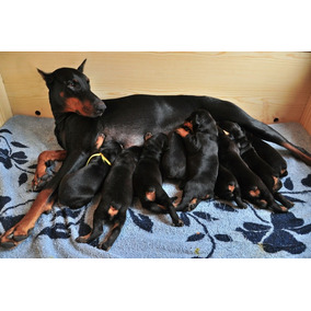 Doberman Marrones Y Negros Cachorros - Excelentes