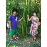 Bambu Gigante, Hasta 12 M Alto X 8 Cm Diàmetro