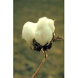 10 Semillas De Planta Algodon - Gossypium Hirsutum Cod. 322