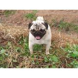 Perro Pug Busca Novia En La Serena, Coquimbo Y Ovalle