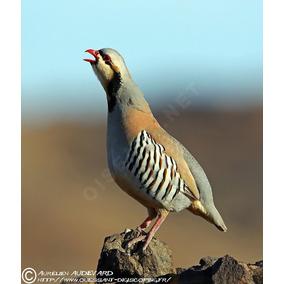 15 Ovos Galados De Perdiz Chukar Cinza (ave Doméstica)