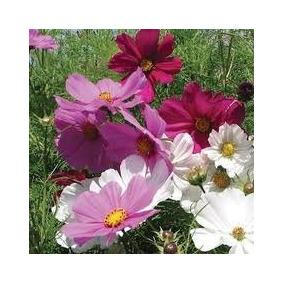 20 Sementes Flor Cosmea Sensação Jardinagem No Mercado Livre Brasil