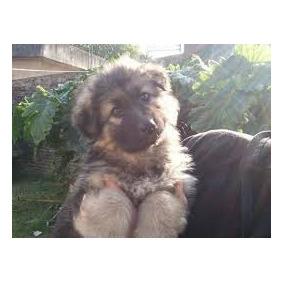 Reserve Cachorros Ovejero Aleman Pelo Largo-garantia X 1 Año