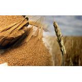 Semilla De Trigo 5 Kilos Wheat Grass Wheatgrass Pasto De Tri