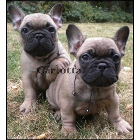 Cachorros Bulldog Frances Color Marron Perros De Raza En Mercado