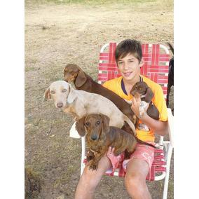 Vendo Cachorros Salchichas / Dachshund Hembritas Y Machitos