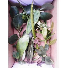 Suculentas Y Cactus Esquejes Surtidos Jardin Y Macetas