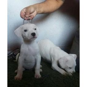 Dogo Argentino Fêmeas Filhotes Com 2 Meses