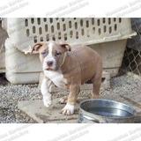 Gran Oferta Cachorros American Bully P/ Seguridad C Garantia