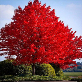 (15) Sementes Bôrdo Vermelho Japonês + Folheto Como Plantar