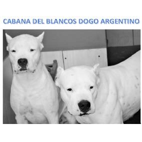 Dogo Argentino Filhote Fêmea