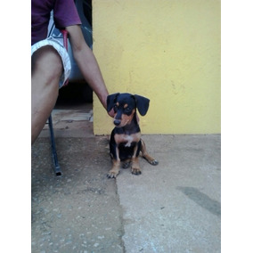 Cachorro Filhote Pitty
