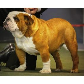 Bulldog Ingles- Macho En Servicio De Stud