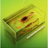 Escorpión Dorado - Insecto Real Disecado En Silicona