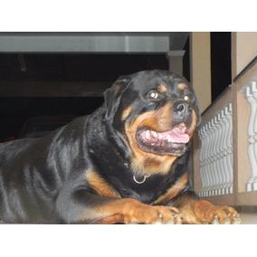 Rottweiler Filhote Focinho Curto Gigante Alemão Lindo