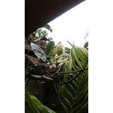 Plantas De Jazmin De Madagascar- Jasmin Perfumado.
