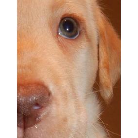 Hermosos Cachorros De Labrador Retriever Criadero Calquin
