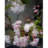 Bonsai Cerezo Flor Doble