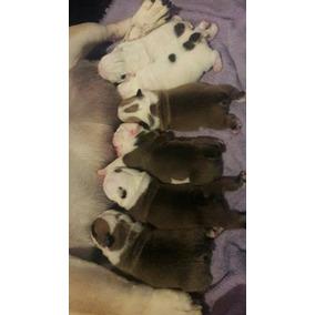 Servicio De Reproduccion Stud Bulldog Ingles