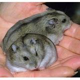 Criadero De Hamsters-gerbos Y Cobayas