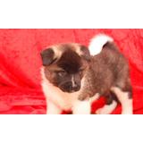 Akita Cachorros En Adopción