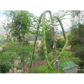 Moringa Oleífera - Planta Mágica - 60 Sementes