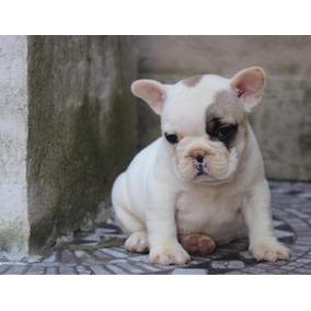 Se Busca Bulldog Frances Macho Para Cruce Perros De Raza En