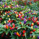 Semillas Chile Durazno Ornamental Multicolor.