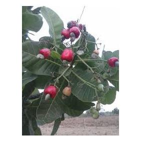 Cajuí Vermelho Do Cerrado - 10 Sementes