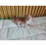 Chihuahueño Puppy Pelo Largo Exótico Exclusiva Para Mascota