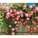 Rosa Trepadora,planta, Diferentes Colores, Enredadera!