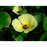 Amapola De Agua Hydrocleys Nymphoides Planta Nativa Acuática