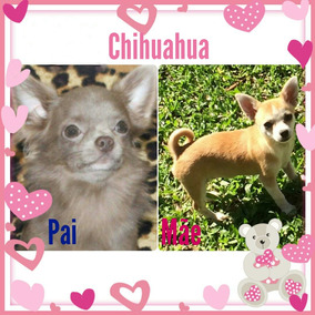 Chihuahua Fêmea