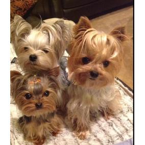 Yorkys Cachorros Padres A Lavista
