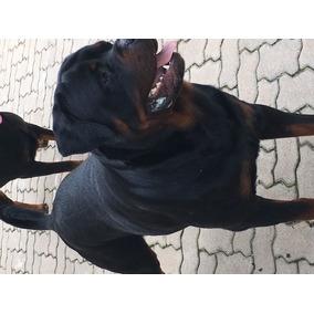 Filhote Rottweiler 12 Alemao Cabecudo Focinho Curto.