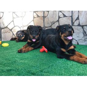 Filhotes De Rottweiler (com Pedigree Cbkc)