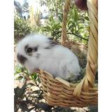 Conejos Cabeza De León 1 Mes De Nacidos