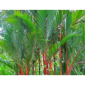 Palmeira Laca Vermelha Cyrtostachys Renda 8 Sementes P mudas 855844fa2a77c