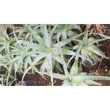 1 Planta De Sabila Arborea, Aloe De Arbol, Suculenta Maceta