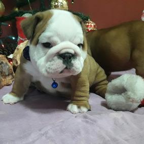 Cachorros Bulldog Ingles Ambos Sexos.