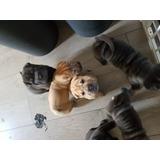 Shar Pei Cachorros Para Adopción