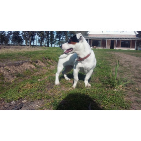 Servicio Jack Russell Terrier