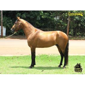Cavalo Marcha Picada Registrado Garanhao