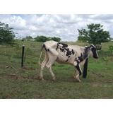 Vaca Lechera Hosting 3/4 De 14 Litros Con Ternero De Un Año