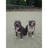 Cachorros Pit-bully